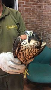 falco pellegrino presso RN Tor Caldara